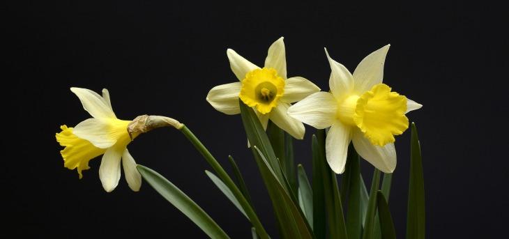 daffodils-2139768_1920