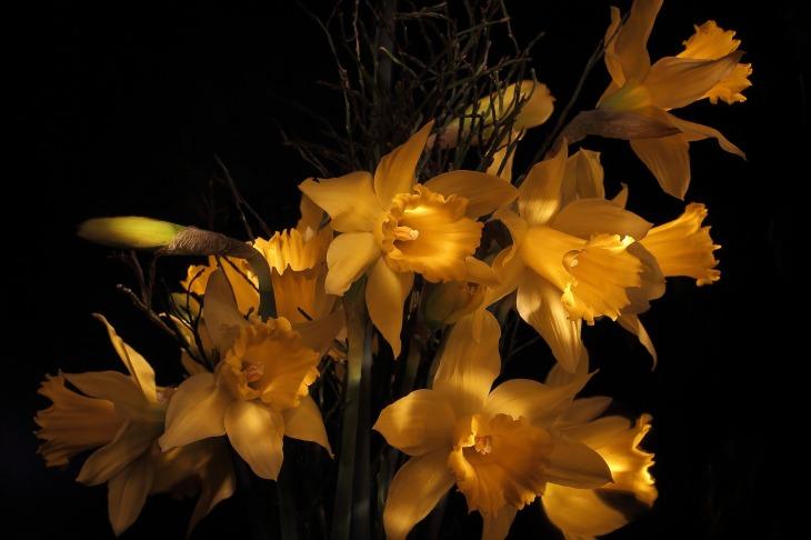 narcissus-2174525_1920